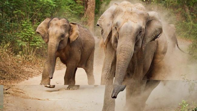 Çin'de köylülere fil saldırdı: 1 ölü, 1 yaralı